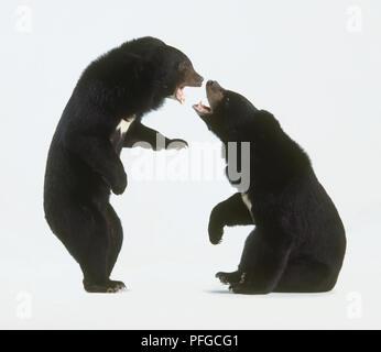 Two Asian Black Bears (Ursus thibetanus or Selenarctos thibetanus), face to face - Stock Photo