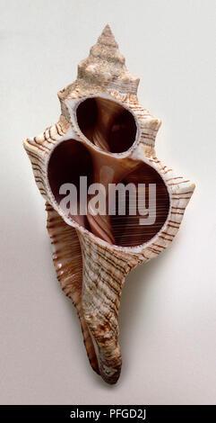 Trapezium Horse Conch (Pleuroploca trapezium) - Stock Photo