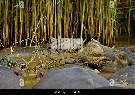 a group of hippo's sleeping with a baby hippo in the back - Stock Photo