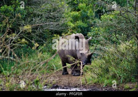 White Rhinoceros in the bush - Stock Photo