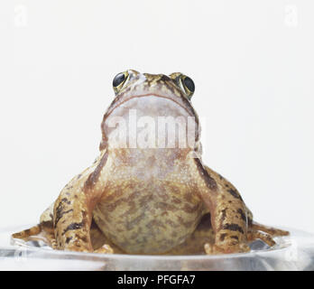 European Common Frog (Rana temporaria) sitting, looking up, front view - Stock Photo