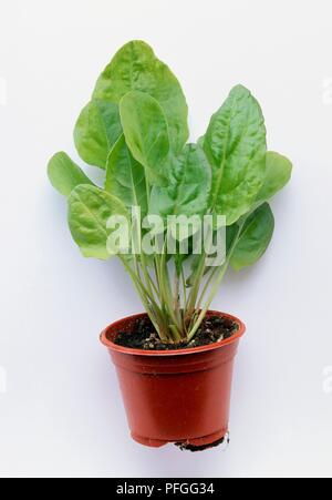 Rumex scutatus (Buckler-leaved sorrel or French sorrel) in plant pot - Stock Photo