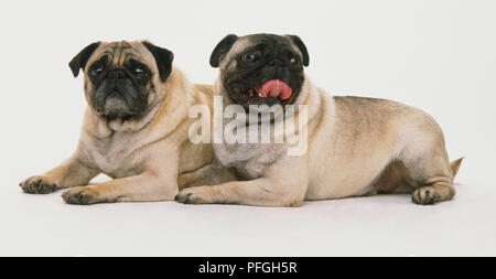 Two Pug dogs (Canis familiaris) lying down, side view. - Stock Photo