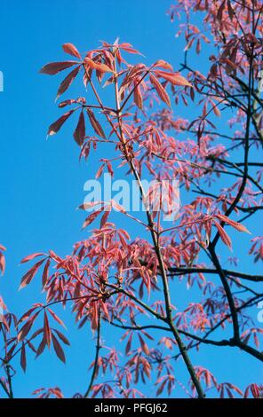 Aesculus x neglecta 'Erythroblastos' (Sunrise Horse Chestnut) tree with pink leaves on thin branches against blue sky - Stock Photo