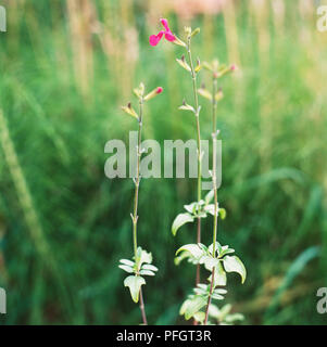 Blackcurrant-Scented Sage (Salvia microphylla var. microphylla syn. S. grahamii), raspberry-coloured flowers with characteristic lower lip, and oval, mid-green leaves, close-up - Stock Photo