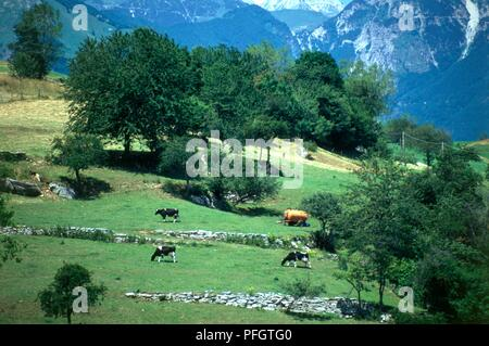 Italy, Bolca, cattle grazing in green village pastures on southern edge of Italian Alps in the Veneto - Stock Photo