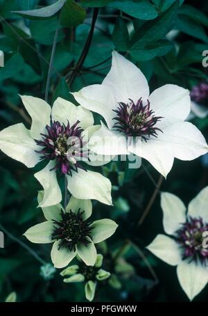 White and purple flowers from Clematis florida 'Sieboldii' - Stock Photo