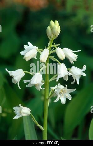 White flowers from Hyacinthoides hispanica 'La Grandesse' (Spanish bluebell), close-up - Stock Photo