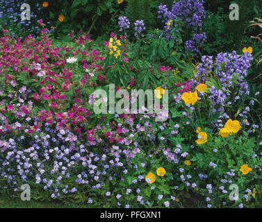 Colourful array of spring flowers in a garden, including Forget-me-nots, Bluebells, Cranesbills and Welsh Poppies, close up. - Stock Photo