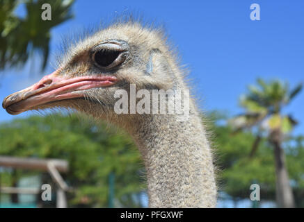 Gray patchy feathers on the head of an ostrich. - Stock Photo