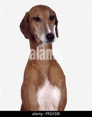 Azawakh dog, head and shoulders, facing forward - Stock Photo