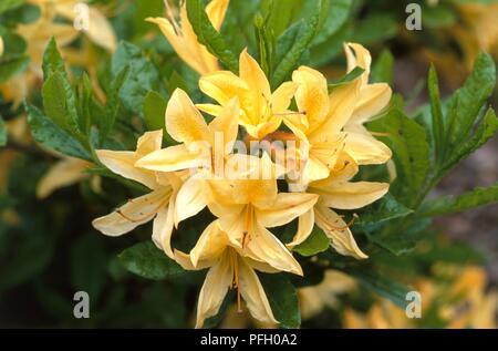 Rhododendron 'Arpege', cluster of pale yellow flowers, close-up - Stock Photo