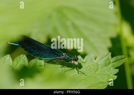 Calopteryx virgo, Beautiful Demoiselle dragonfly perched on riverside vegetation, Wales, UK - Stock Photo