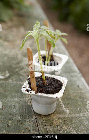 Helianthus annuus (Sunflower) seedlings in yoghurt pots on garden bench - Stock Photo