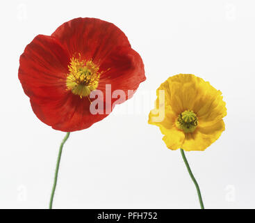 A red and a yellow flower of Papaver Nudicaule 'Champagne Bubbles', Icelandic Poppy - Stock Photo