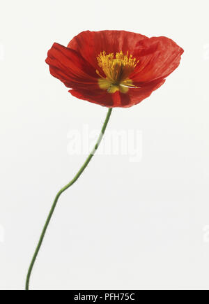 Red flower head of Papaver Nudicaule 'Champagne Bubbles', Icelandic Poppy - Stock Photo