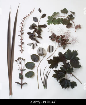 Selection of green and bronze coloured foliage, including Grape vine, Copper beech, Japanese barberry, New Zealand flax, Norway maple, Smoke tree, Purple-leaved filbert, Stonecrop - Stock Photo