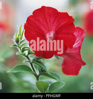 Calibrachoa Million Bells Red = 'Sunbelre' (PBR) (Million Bells Series), bright red flowers - Stock Photo