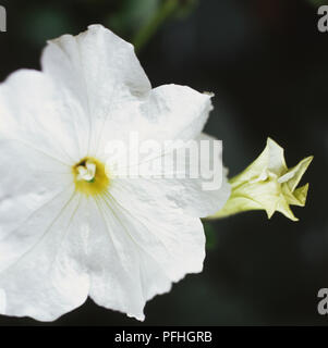 Calibrachoa Million Bells White = 'Sunbelho' (PBR) (Million Bells Series), white flower, close-up - Stock Photo