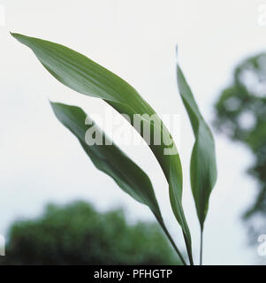 Aspidistra elatoir, long broad leafed plant. - Stock Photo