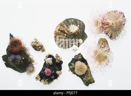 Selection of flower-like Sea Anemones (Actiniaria), view from above - Stock Photo