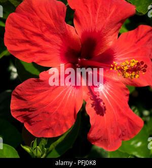 Hibiscus flower in Greece. - Stock Photo