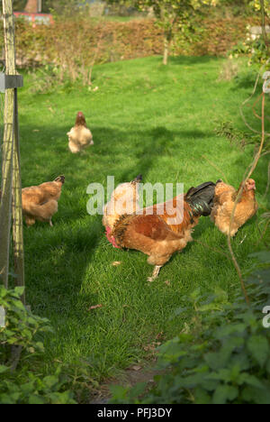 Hens and a rooster on a lawn - Stock Photo