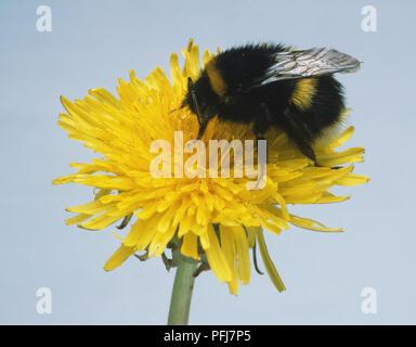 Bumblebee (bombus), feeding on dandelion flower - Stock Photo