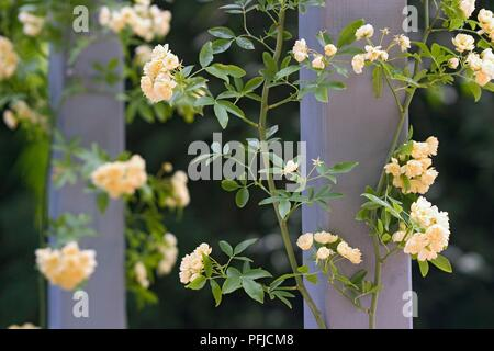 Rosa banksiae 'Lutea' (Lady Banks' rose), cream coloured flowers growing around wooden post - Stock Photo