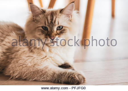 Portrait of a hairy Siberian domestic cat lying on a wooden floor - Stock Photo