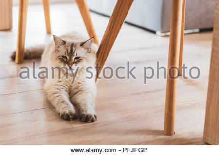 Furry Siberian house cat lying on a floor in a house - Stock Photo
