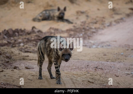 Striped hyena sibling from jhalana forest area - Stock Photo