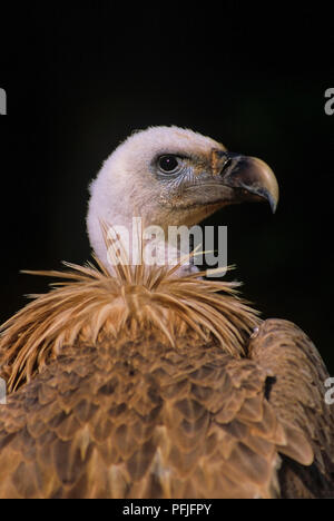 Griffon Vulture or Eurasian Griffon (Gyps fulvus). Southern Spain. Europe - Stock Photo