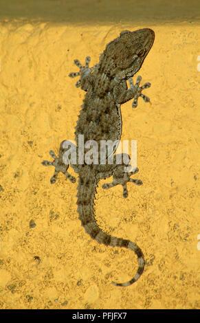 Salamanquesa (Tarentola mauritanica) on a wall. Southern Spain. Europe - Stock Photo