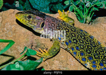 Ocellated lizard (Timon lepidus or Lacerta lepida). Southern Spain. Europe - Stock Photo
