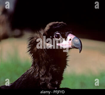 Eurasian Black Vulture (Aegypius monachus) - closeup of a young specimen. Southern Spain. Europe - Stock Photo