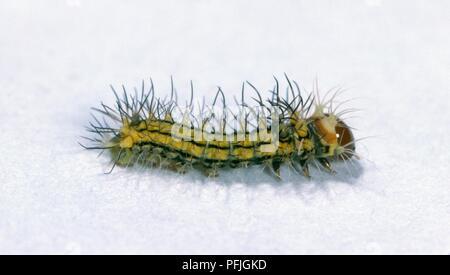 Chinese oak silk moth (Antheraea pernyi) caterpillar, hatchling - Stock Photo