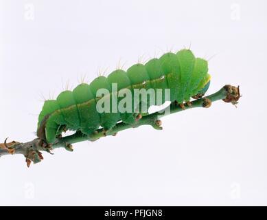 Chinese oak silk moth (Antheraea pernyi) caterpillar on stem - Stock Photo