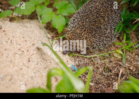 West European Hedgehog ,Erinaceus europaeus.Young hedgehog in natural habitat.Hedgehog, wild, native, European hedgehog on green moss in natural habitat looking at a large snail. - Stock Photo