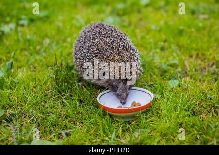 Young hedgehog eating cat food.Hedgehog and a plate on green grass. Native, wild, european hedgehog on a warm day in Spring. Horizontal, landscape. Hedgehog facing right. Erinaceus europaeus - Stock Photo