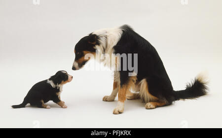 Adult black, brown and white dog looking down at puppy seated opposite, side view. - Stock Photo