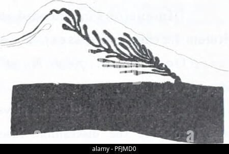 . The Danish Ingolf-expedition. Marine animals -- Arctic regions; Scientific expeditions; Arctic regions. Fig. 36. Fig. 37-. Fig- 38. Edwardsia arctica. Transverse sections of pennons (fig. 33—35) and parietal muscles {fig. 36—38) in the reproductive tract. Figs. 33, 36, specimen from Scoresby Sound, figs. 34, 37 specimen from Mackenzie Bay. Figs. 35, 38 specimen from the Kara Sea. mentioned in the table above, also smaller nematocysts, 19—26x2-—2.5/^; possibly these latter belong to the involved tentacles. The imperfect mesenteries are very weak. The longitudinal muscle-pennons of the 8 &quot - Stock Photo