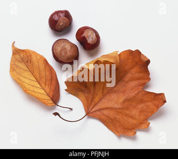Two autumn leaves, three chestnuts, close up. - Stock Photo
