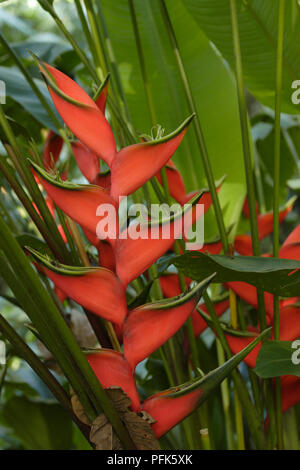 Red flower head and green leaves from Heliconia wagneriana (False bird-of-paradise), close-up - Stock Photo