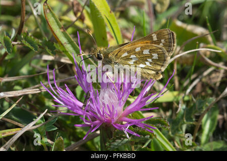 Silver-spotted skipper butterfly (Hesperia comma) nectaring on a dwarf thistle - Stock Photo