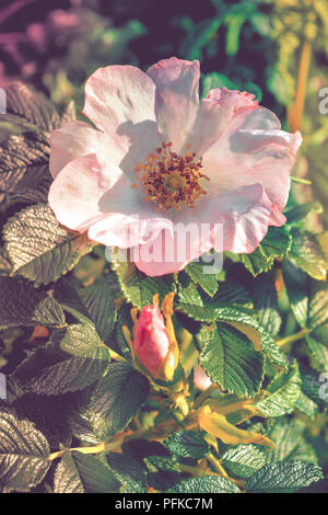 The blooming flower of wild briar with green leaves in the natural environment. Pink flower of dog rose or wild rose or Rosa canina on bush - Stock Photo