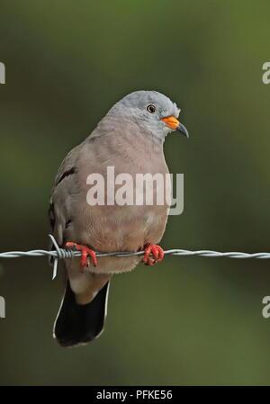 Croaking Ground-dove (Columbina cruziana) adult male perched on barbed wire fence  Loja, Ecuador                        February - Stock Photo