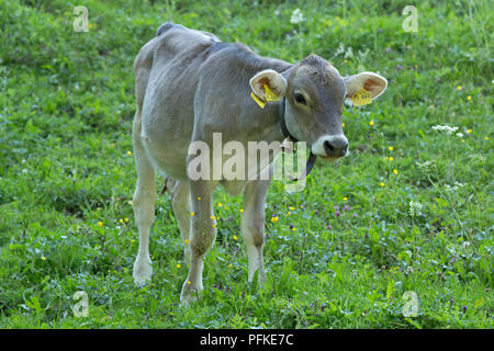 calf with tiny bell near Steibis, Allgaeu, Bavaria, Germany - Stock Photo