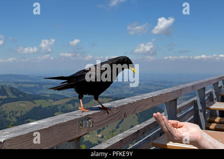 alpine chough at mountain restaurant of Hochgrat cable car, Steibis, Allgaeu, Bavaria, Germany - Stock Photo
