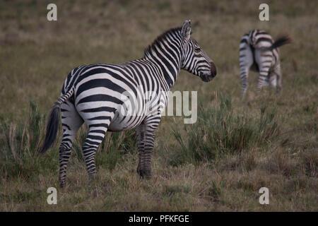 Masai Mara, Kenya, Game Safari Stock Photo